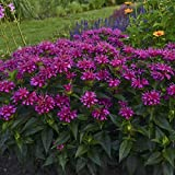 "sun monarda PARDON MY PURPLE compact bee balm herb 3"" pot = 1 Live Potted Plant"