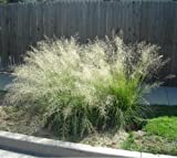 200 WEEPING LOVE GRASS Ornamental Love Grass Eragrostis Curvula Flower Seeds *Comb S/H