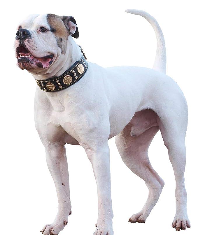 Bestia Maximus de Piel Collar de Perro: Amazon.es: Productos para ...