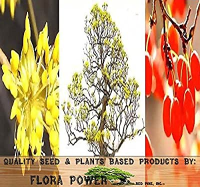 Asiatic Dogwood Seed - Japanese Cornel Dogwood SEEDS - Cornus officinalis - MEDICINAL PLANT - Colorful Exfoliating Bark - ZONES 5 - 9 - Tree Seeds from Flora Power by Red Pine, Inc.