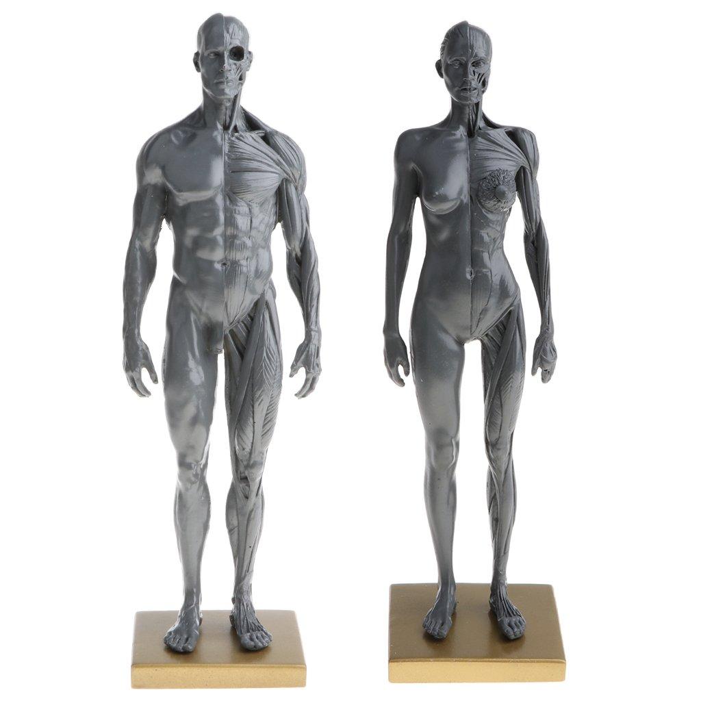 Homyl Female Male Anatomy Figure Superficial Muscle Anatomy Model