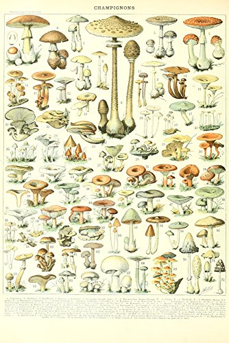 Mushrooms - B - Vintage Bookplate - Adolphe Millot Artwork (12x18 Art Print, Wall Decor Travel Poster) ()
