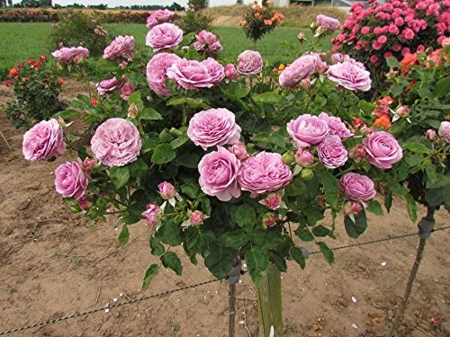 "Bare root HIGHLY FRAGRANT AND RARE Rose /'TIMELESS PURPLE/"" rose"