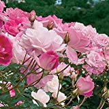Brilliant Pink Iceberg Rose - Live Plant - 10 Inch Pot