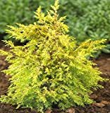3 Starter Plants of Juniperus Communis Gold Cone