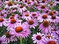 Seeds Coneflower Purpurnaya - Purple (Rudbeckia purpurea) Organic Flowers