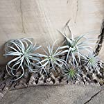 Chive-Set-of-5-Fake-Artificial-Faux-Tillandsia-Air-Plants-Bromeliads-for-IndoorOutdoor-Garden-and-Home-Decor-Terrarium-Decorations-Arrangements-and-Display-Small