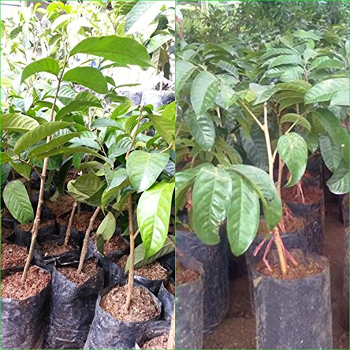 1 Thai Longkong grafted Tree Tropical Plant 18'' Tall Aglaia dookkoo Lansium Domesticum Direct from Thailand Free Phytosanitary Cert. by Nature8 Farm (Image #1)