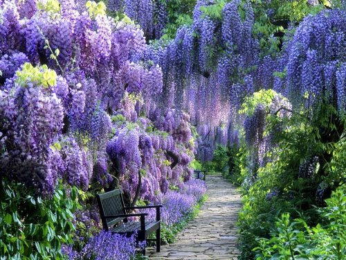 BLUE MOON WISTERIA VINE - FRAGRANT FOOT LONG FLOWERS - ATTRACTS HUMMINGBIRDS - 2 - YEAR - Dangling White Rose