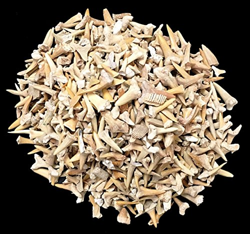One Pound of Genuine Shark Teeth - Fossilized Moroccan Teeth! - Wholesale Bulk Shark Teeth!
