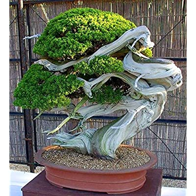 Big Sale!50 Juniper Bonsai Tree Potted Flowers Office Bonsai purify The air: Industrial & Scientific