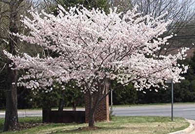 1 Yoshino Flowering Cherry Tree
