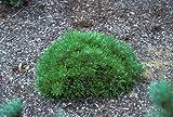 Corleys Mat Dwarf Mugo Pine 2 - Year Live Plant