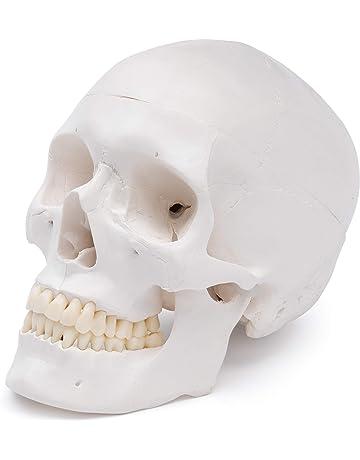 Modelos y materiales educativos médicos | Amazon.es