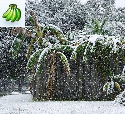 Musa Basjoo Banana plant degrees