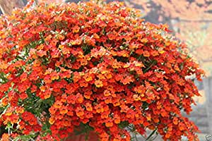 Nemesia 100 Seeds- Orange Prince - Nemesia Strumosa Flowers- Wonderful in containers