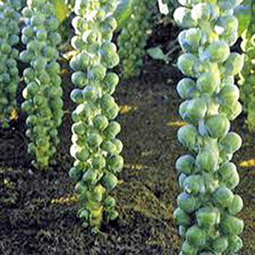 Brussel Sprouts Seed, Long Island, Heirloom, Organic, Non Gmo, 25+ Seeds, a Garden - Green Acres Island Long