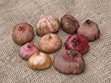 75 Mixed Large Flowering Gladiolus Bulbs - 12 cm - Super Value!