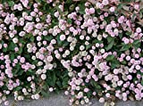 20 PUNCHING BALLS Pink Buttons Persicaria Capitata Polygonum Flower Seeds