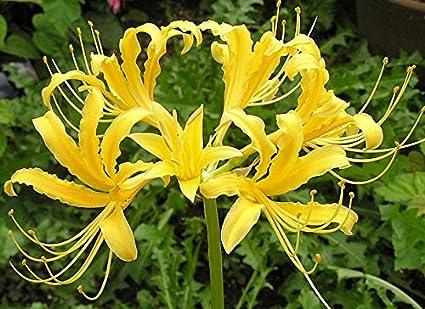 Amazon spectacular flowering perennial flowers lycoris golden spectacular flowering perennial flowers lycoris golden yellow spider lily root plant mightylinksfo