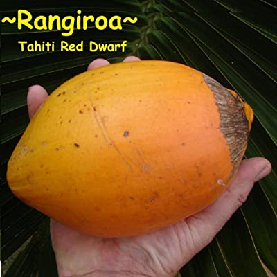 ~RED TAHITI~ Dwarf COCONUT ~RANGIROA~ Cocos nucifera var. Haari Papua RARE SEED : Garden & Outdoor