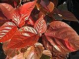 PlantVine Acalypha wilkesiana 'Louisiana Red', Copperleaf - Large - 8-10 Inch Pot (3 Gallon), Live Plant