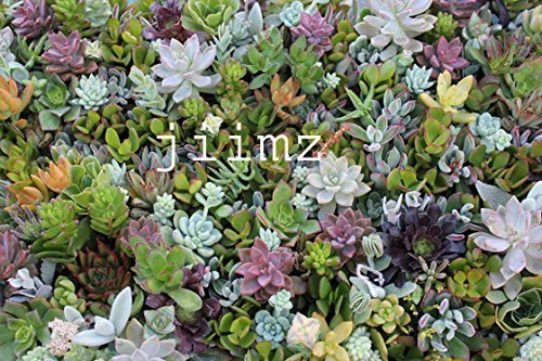28 Varieties Succulent Cuttings Great for Vertical Gardens & Wreaths & Topiaries by jiimz Succulents ()