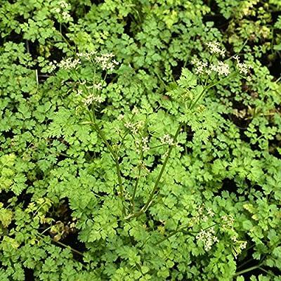 Winter Chervil 400 Seeds Open Pollinated Heirloom Herb