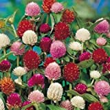 "Organic Flower seeds Gomphrena ""Dry flowers"" (Gomphrena globosa) from Ukraine."