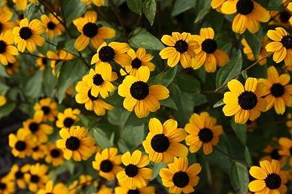 Amazon brown eyed susan 250 seeds striking bright yellow brown eyed susan 250 seeds striking bright yellow flowers with brown center mightylinksfo