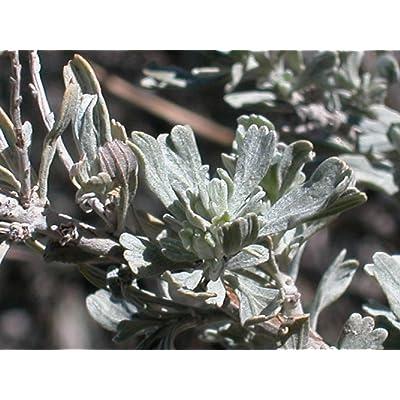 20 Seeds Artemisia Tridentata Shrub Garden tkgre : Garden & Outdoor