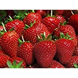 "Tribute Everbearing Strawberry 25 Plants - BEST BERRY - 3"" Pots"