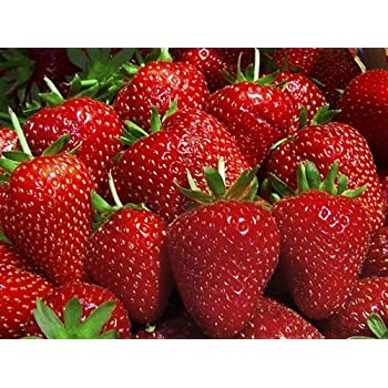 "Tribute Everbearing Strawberry 4 Plants - BEST BERRY - 3"" Pots"