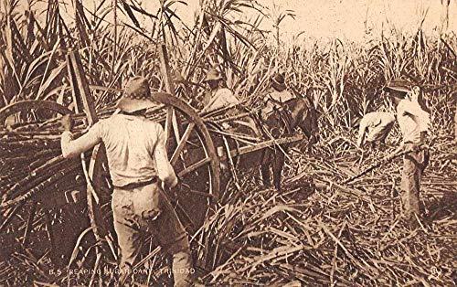 Trinidad Reaping Sugar Cane Plantation Scene Tuck Vintage Postcard JD933769