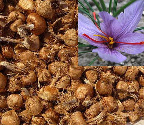 Saffron Bulbs - Fresh 2017 Saffron Bulbs 40 Pcs - Get Beautifull Flowers and Your Own Spice