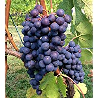 Cabernet Franc Wine Grape Vine - Plantable Year Round