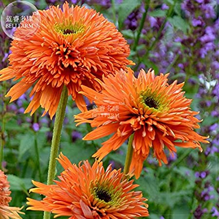 20 Seeds Echinacea Orange Hybrid Very Pretty