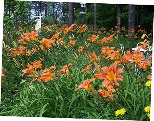 QIO 10 Wild Orange Day Lily ('Tawny 'Ditch Lily') Pond/Bog/Water Garden Hardy - RK25
