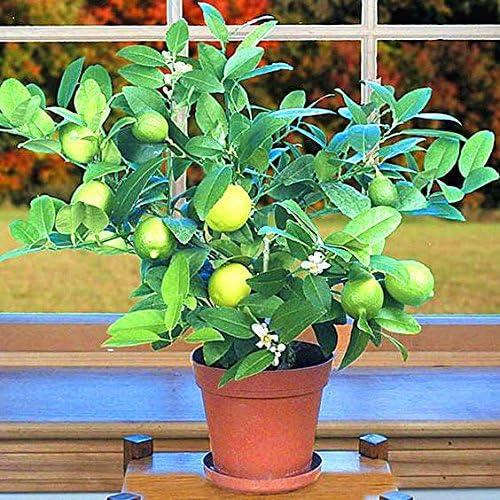 20pcs / sac kaffir graines de citron vert, graines de chaux, (Citrus aurantifolia) citronnier de fruits bio Fruta Bonsai pot pour le jardin à la maison
