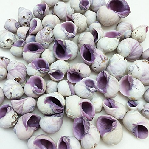 PEPPERLONELY Purple Cebu Beauty Sea Shells, 8 OZ Apprx.60+ PC Shells, 1/2 Inch ~ 1 ()