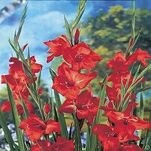 10 x Gladiolus nanus 'Mirella' (corms) (orange/red Gladioli to grow yourself)