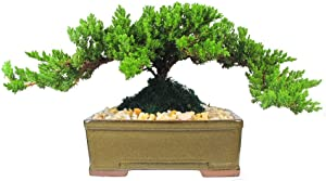 Eve's Garden Japanese Juniper Bonsai Tree, 8 Years Old Japanese Juniper, Planted in 8 Inch Ceramic Container, Outdoor Bonsai
