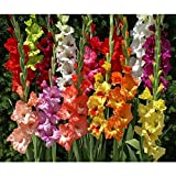 100 Easy to Grow Gladiolus Bulbs-- End of Season Bulb Clearance!