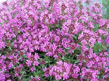 Amazon pink chintz thyme pretty pink flowers hardy live pink chintz thyme pretty pink flowers hardy live plant gallon pot mightylinksfo