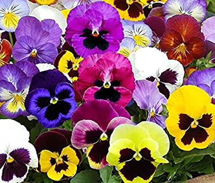 Image result for pansies