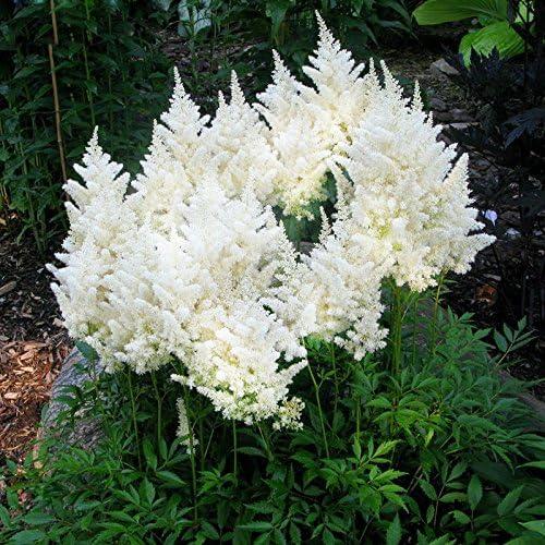 200 PC Semillas crisantemo del arco iris de colores de flores, margarita, rara mejores semillas de regalo para los childs del jardín de DIY encanta esta planta rainbow: Amazon.es: Jardín