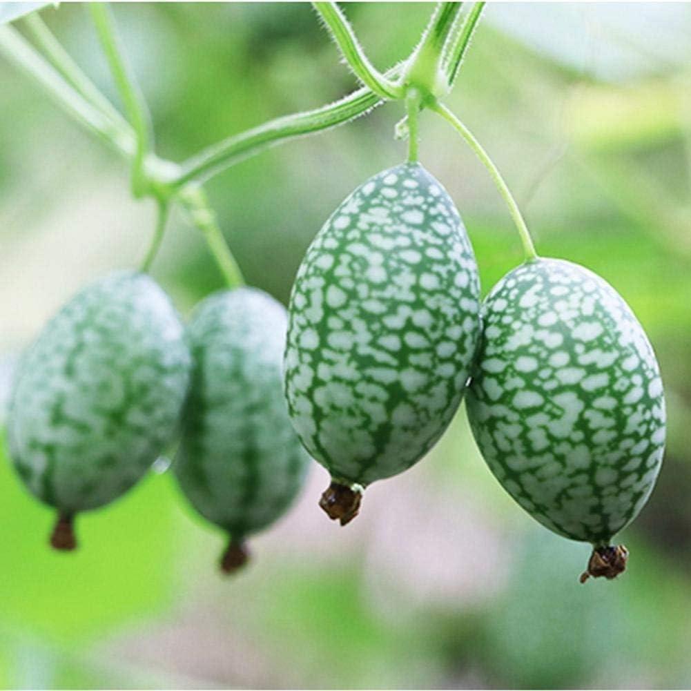 Troy Hoke 10 St/ück Bio mini Wassermelone Samen Minigurke Daumen Samen Kleine Finger-Melonen Saatgut Essbar
