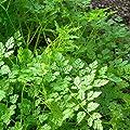 IDEA HIGH GROSEEDS - Herb Seeds, Chervil Curled, H-CHE-01, 740 Seeds Minimum Per Packet