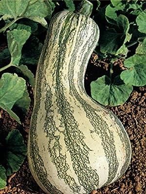 Heirloom CUSHAW GREEN STRIPED Pumpkin Winter Squash 35seeds