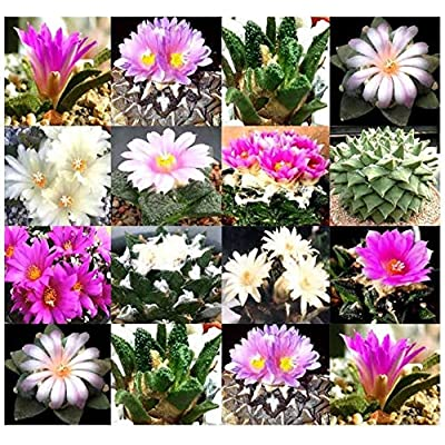 Risalana Ariocarpus Species Seed Rare Mix - Rock-Like Form and Textured Cactus Succulent - AKA Living Rocks - Fresh Seeds, Choose from 5 or 100 (Pkt Size - 5 Seeds) : Garden & Outdoor
